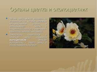 Органы цветка и околоцветник Органы цветка можно разделить на спороносные, т.