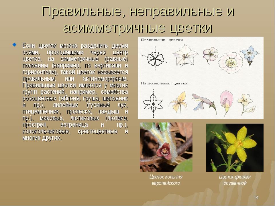 Правильные, неправильные и асимметричные цветки Если цветок можно разделить д...