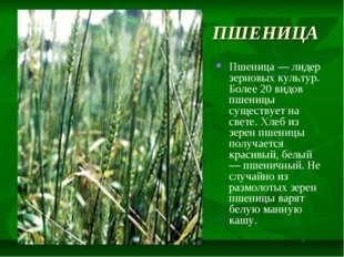 ПШЕНИЦА Пшеница — лидер зерновых культур. Более 20 видов пшеницы существует н