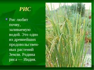 РИС Рис любит почву, заливаемую водой. Это одно из древнейших продовольствен-