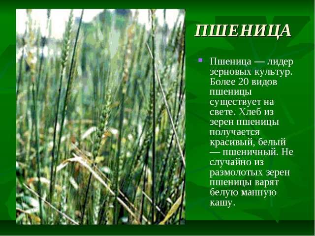 ПШЕНИЦА Пшеница — лидер зерновых культур. Более 20 видов пшеницы существует н...