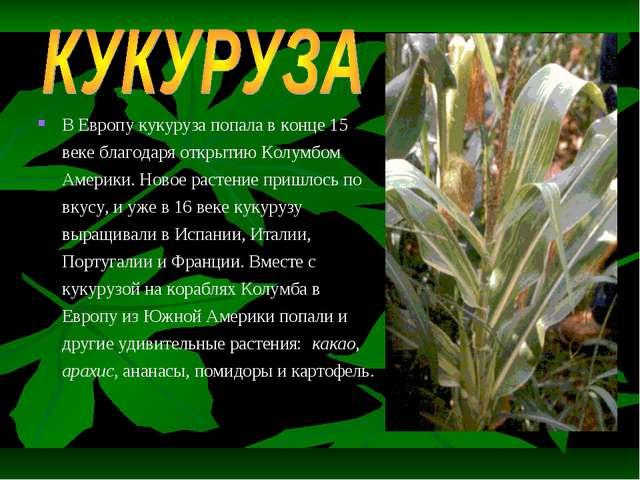 В Европу кукуруза попала в конце 15 веке благодаря открытию Колумбом Америки....