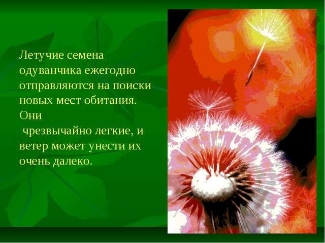 Летучие семена одуванчика ежегодно отправляются на поиски новых мест обитания...