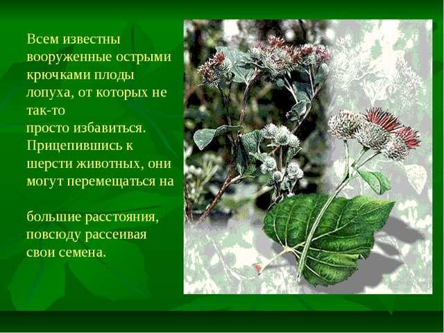 Всем известны вооруженные острыми крючками плоды лопуха, от которых не так-то...