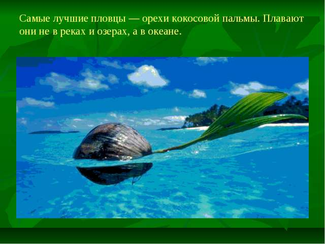 Самые лучшие пловцы — орехи кокосовой пальмы. Плавают они не в реках и озерах...