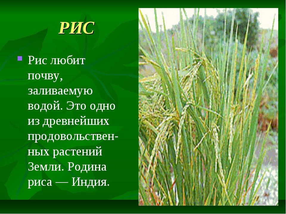 РИС Рис любит почву, заливаемую водой. Это одно из древнейших продовольствен-...