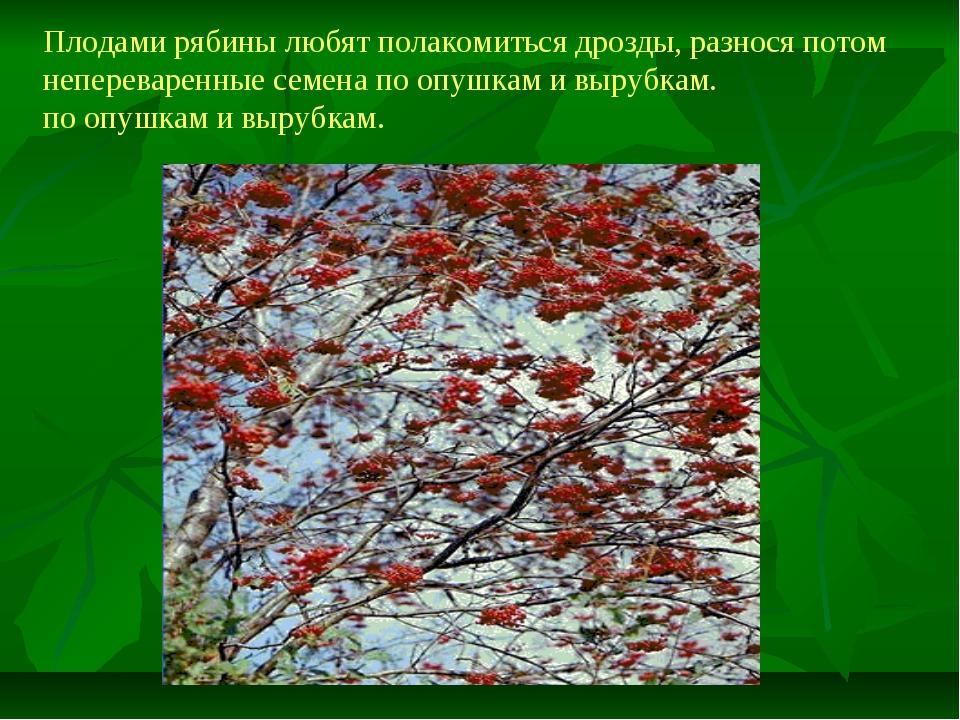 Плодами рябины любят полакомиться дрозды, разнося потом непереваренные семена...