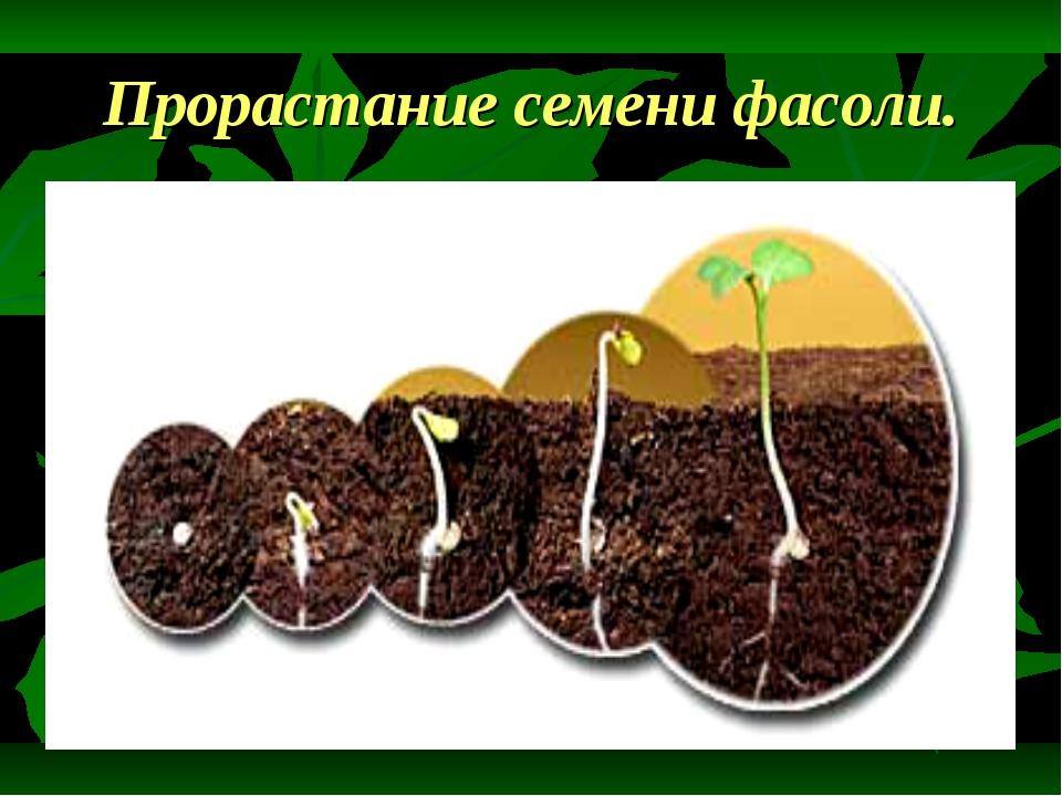 Прорастание семени фасоли.