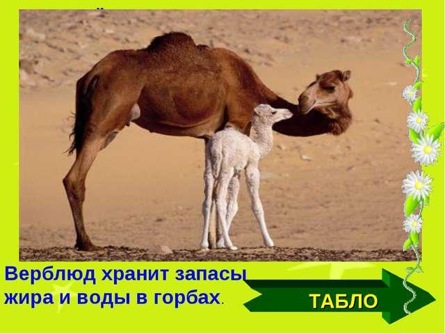 ТАБЛО Дикий вид этого животного сохранился только в Монголии, в самых глухих...