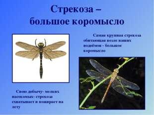 Стрекоза – большое коромысло Самая крупная стрекоза обитающая возле наших вод