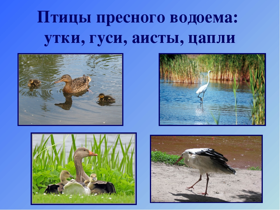 Птицы пресного водоема: утки, гуси, аисты, цапли