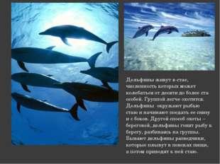 Дельфины живут в стае, численность которых может колебаться от десяти до боле
