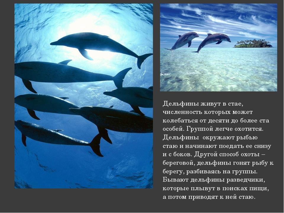 Дельфины живут в стае, численность которых может колебаться от десяти до боле...