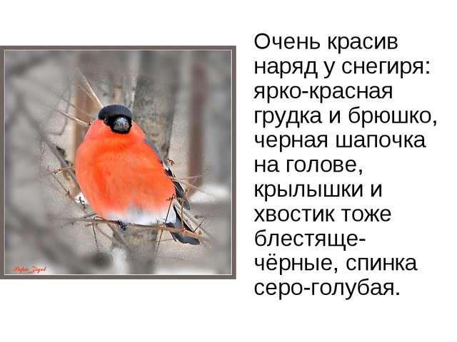 Очень красив наряд у снегиря: ярко-красная грудка и брюшко, черная шапочка...