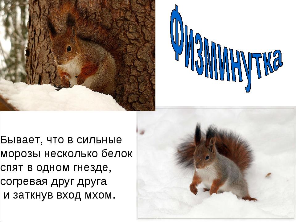 Бывает, что в сильные морозы несколько белок спят в одном гнезде, согревая др...