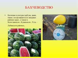 БАХЧЕВОДСТВО Бахчевые культуры (арбузы, дыни, тыква ) возделываются в западны