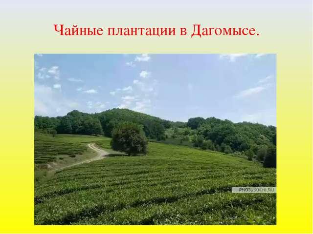 Чайные плантации в Дагомысе.