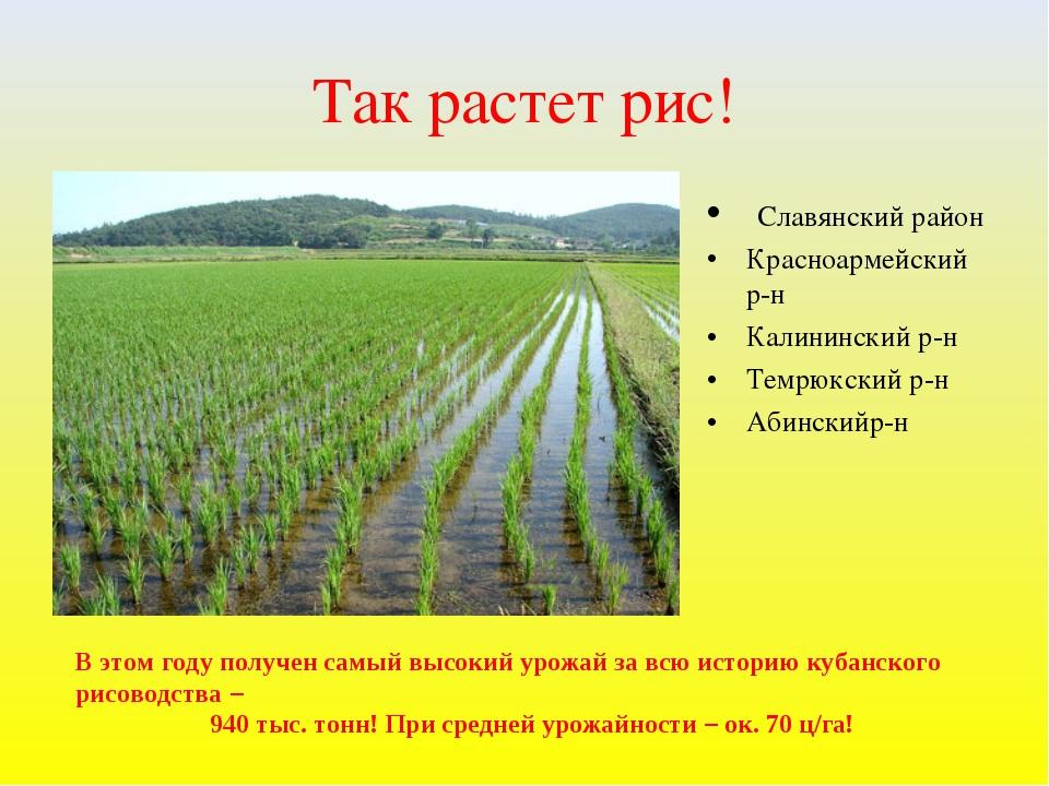 Так растет рис! Славянский район Красноармейский р-н Калининский р-н Темрюкск...