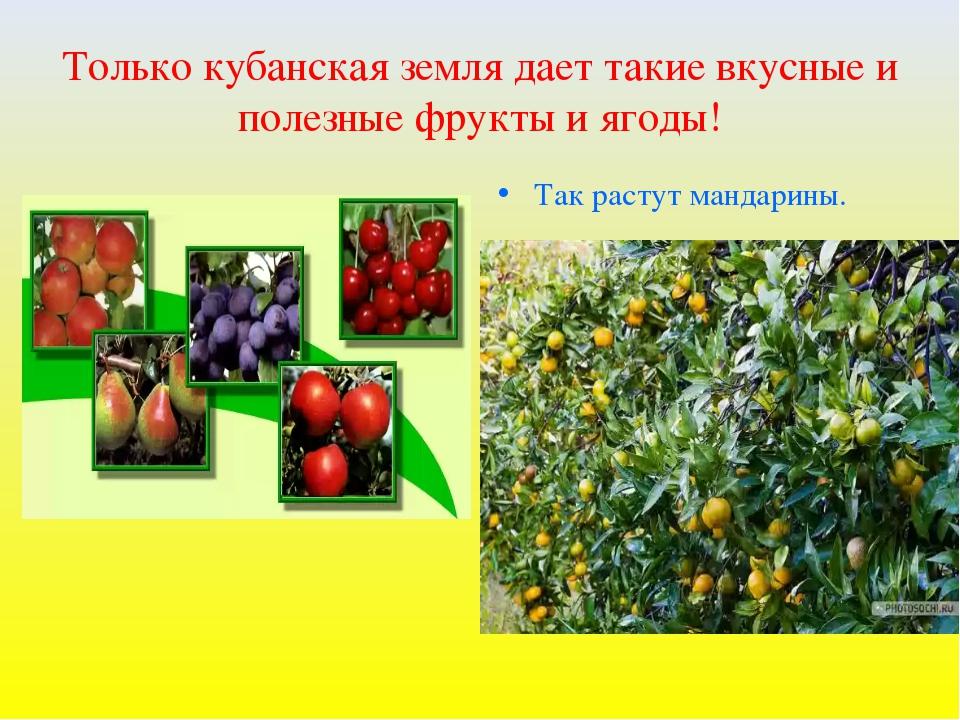 Только кубанская земля дает такие вкусные и полезные фрукты и ягоды! Так раст...