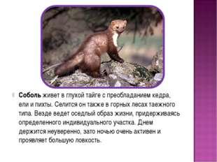 Соболь живет в глухой тайге с преобладанием кедра, ели и пихты. Селится он та