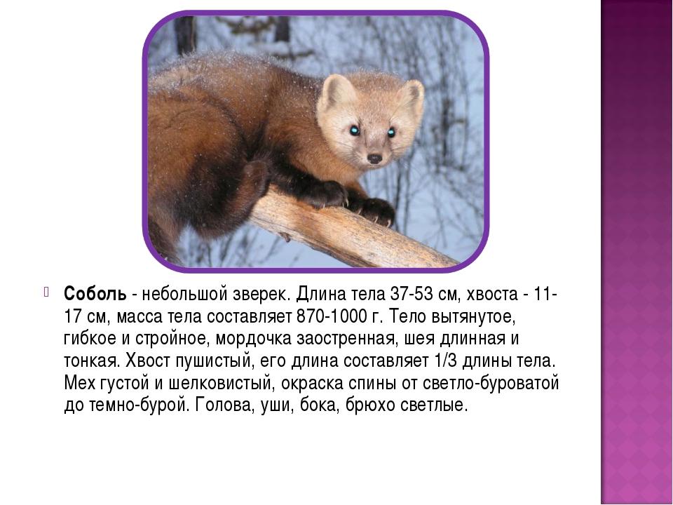 Соболь - небольшой зверек. Длина тела 37-53 см, хвоста - 11-17 см, масса тела...