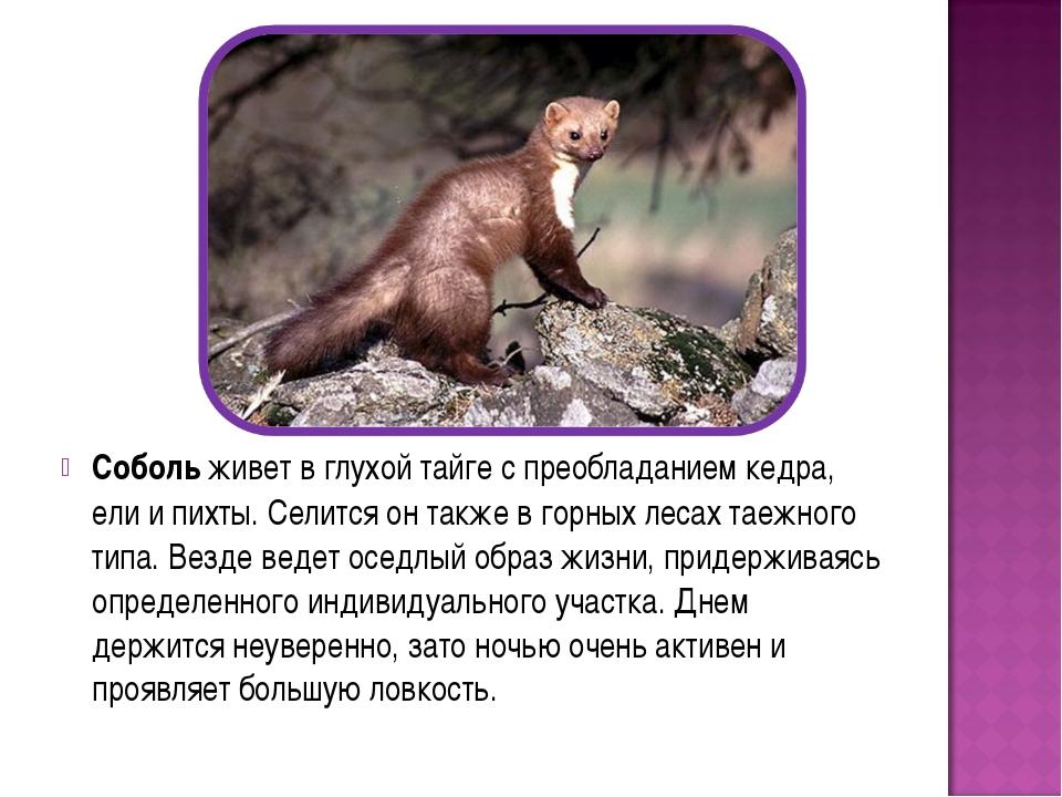 Соболь живет в глухой тайге с преобладанием кедра, ели и пихты. Селится он та...
