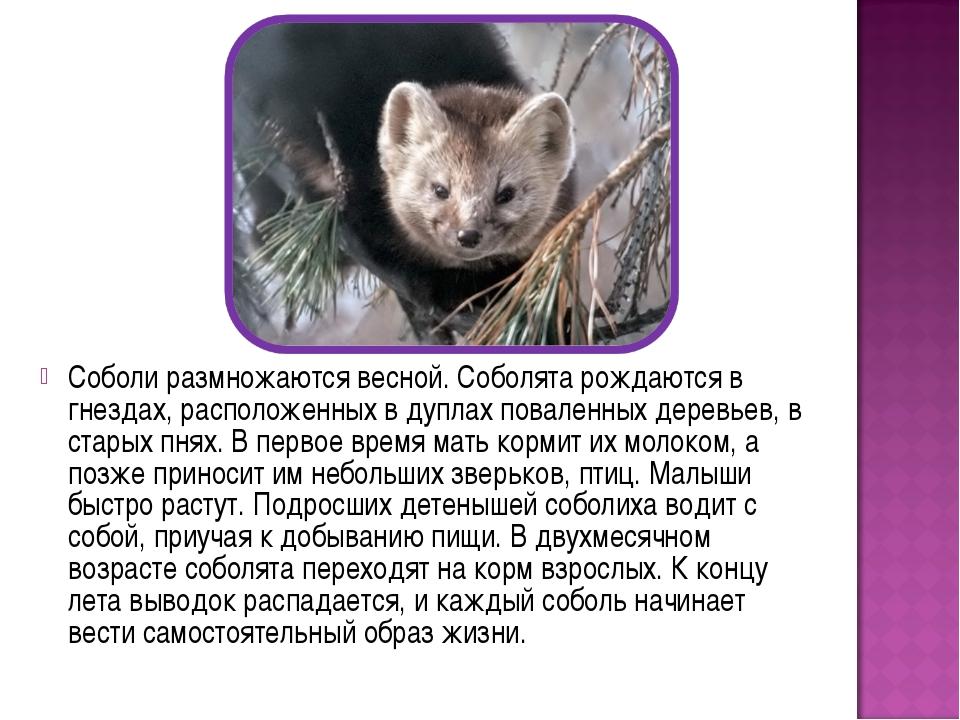 Соболи размножаются весной. Соболята рождаются в гнездах, расположенных в дуп...