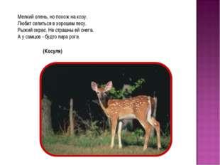 Мелкий олень, но похож на козу. Любит селиться в хорошем лесу. Рыжий окрас. Н