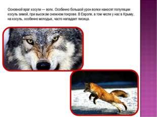 Основной враг косули — волк. Особенно большой урон волки наносят популяции ко