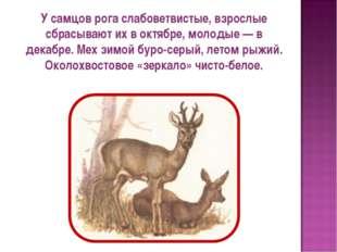 У самцов рога слабоветвистые, взрослые сбрасывают их в октябре, молодые — в д