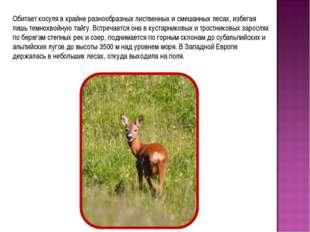 Обитает косуля в крайне разнообразных лиственных и смешанных лесах, избегая л