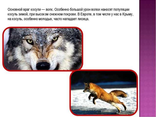 Основной враг косули — волк. Особенно большой урон волки наносят популяции ко...