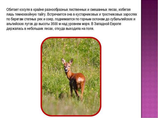 Обитает косуля в крайне разнообразных лиственных и смешанных лесах, избегая л...