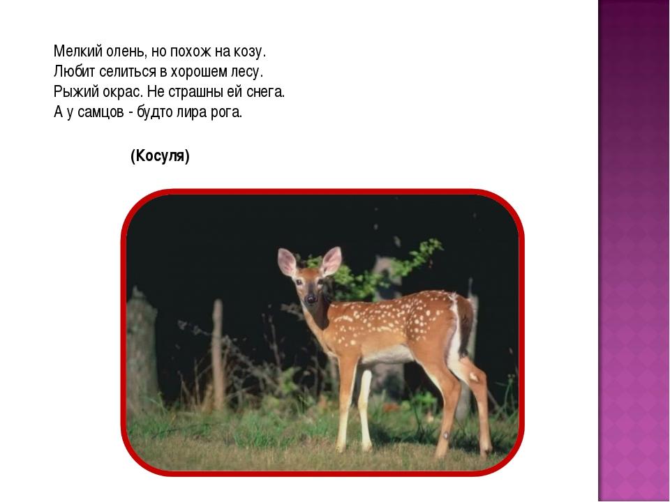 Мелкий олень, но похож на козу. Любит селиться в хорошем лесу. Рыжий окрас. Н...