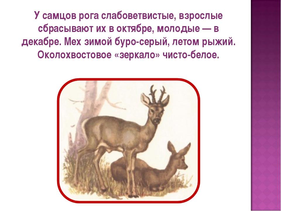 У самцов рога слабоветвистые, взрослые сбрасывают их в октябре, молодые — в д...