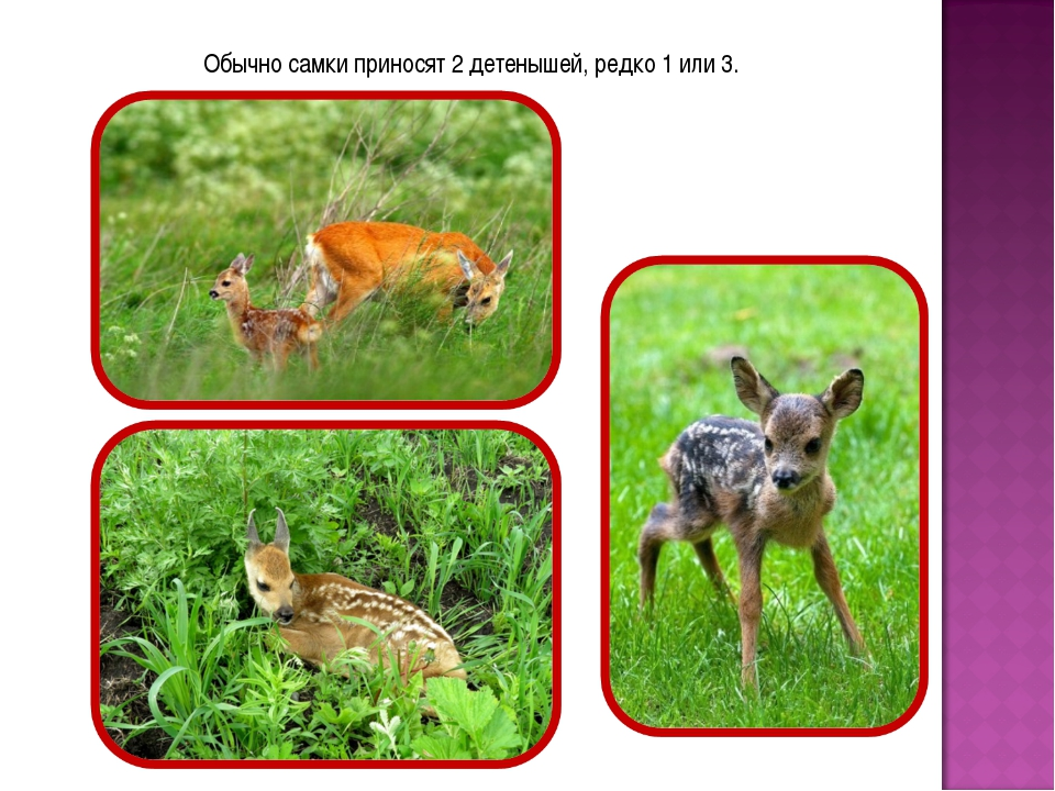Обычно самки приносят 2 детенышей, редко 1 или 3.