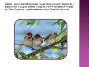Воробей – широко распространенная в городах птица небольшого размера. Вес вор
