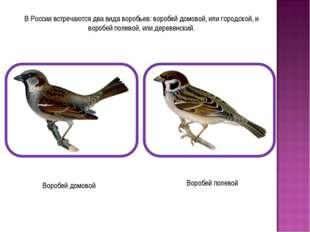 В России встречаются два вида воробьев: воробей домовой, или городской, и вор