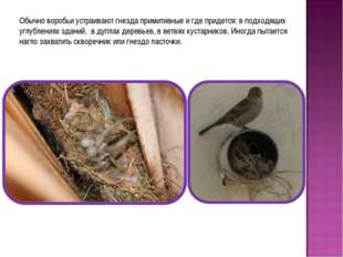 Обычно воробьи устраивают гнезда примитивные и где придется: в подходящих угл