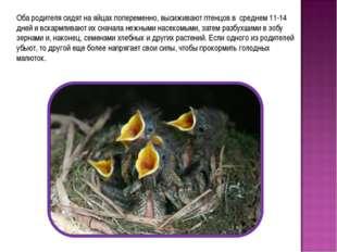 Оба родителя сидят на яйцах попеременно, высиживают птенцов в среднем 11-14 д