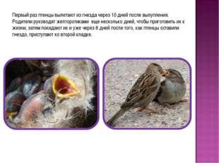 Первый раз птенцы вылетают из гнезда через 10 дней после вылупления. Родители