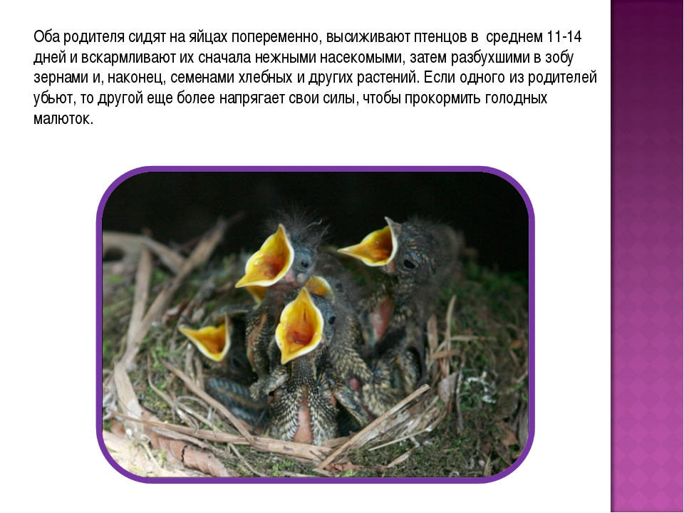 Оба родителя сидят на яйцах попеременно, высиживают птенцов в среднем 11-14 д...