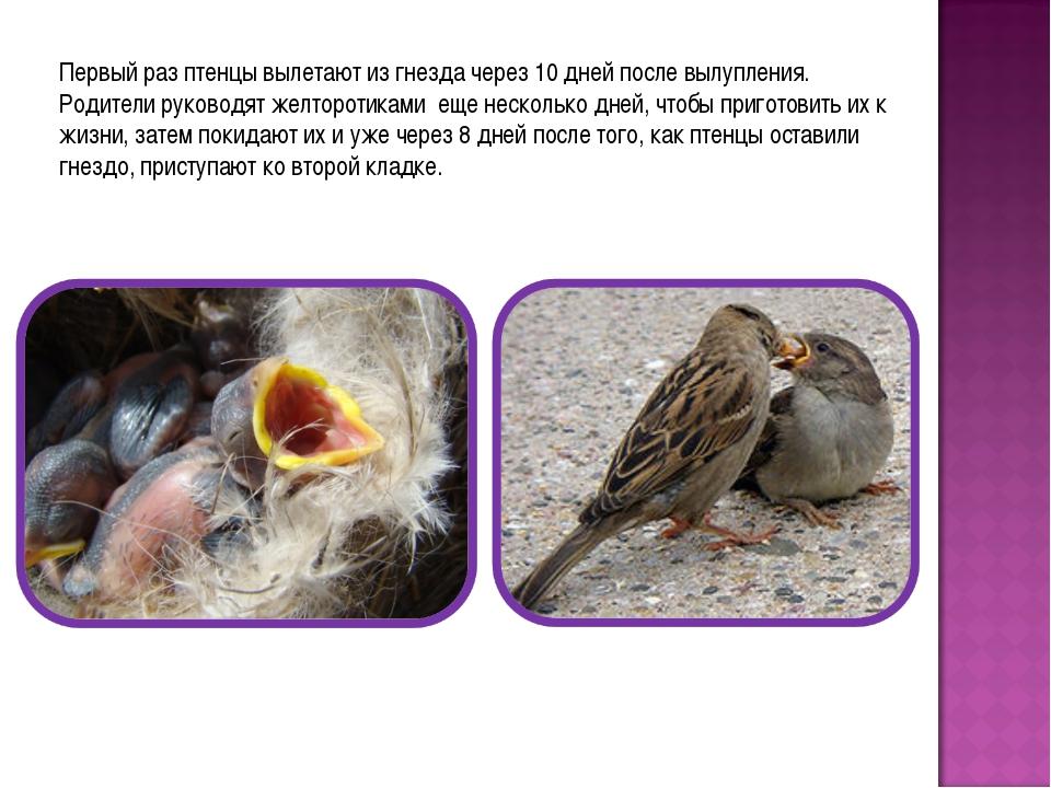 Первый раз птенцы вылетают из гнезда через 10 дней после вылупления. Родители...
