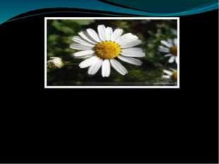 - Посмотрите на ромашку. Что связывает лепестки в цветке? (сердцевина) - А ч
