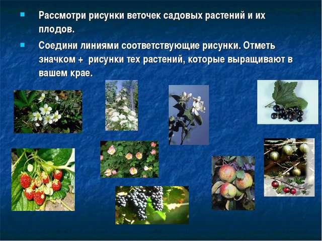 Рассмотри рисунки веточек садовых растений и их плодов. Соедини линиями соотв...