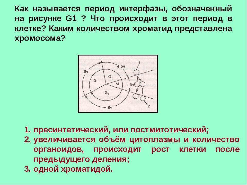 Как называется период интерфазы, обозначенный на рисунке G1 ? Что происходит...