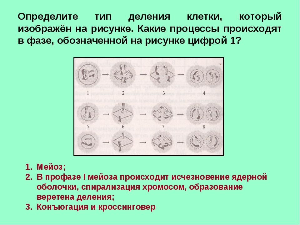 Тип деления клеток изображенный на рисунке