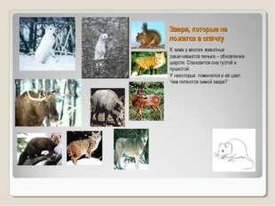 Звери, которые не ложатся в спячку К зиме у многих животных заканчивается лин