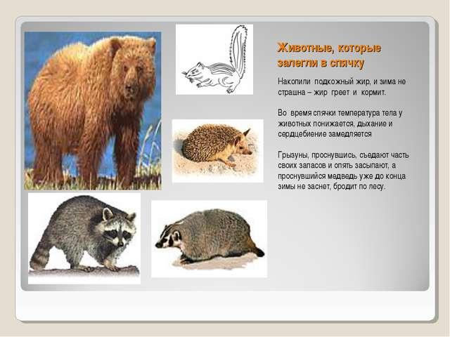 Животные, которые залегли в спячку Накопили подкожный жир, и зима не страшна...