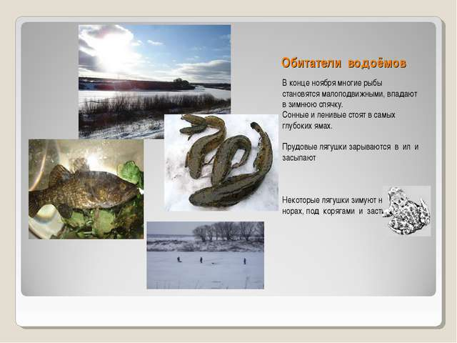 Обитатели водоёмов В конце ноября многие рыбы становятся малоподвижными, впад...
